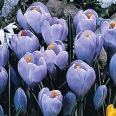 spring season crocus